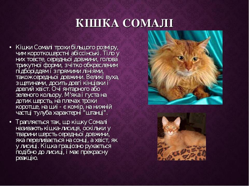 КІШКА СОМАЛІ Кішки Сомалі трохи більшого розміру, чим короткошерстні абіссінські. Тіло у них товсте, середньої довжини, голова трикутної форми, з ч...