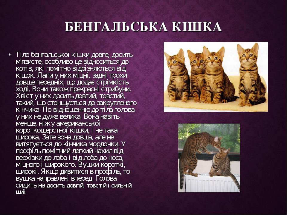 БЕНГАЛЬСЬКА КІШКА Тіло бенгальської кішки довге, досить м'язисте, особливо це відноситься до котів, які помітно відрізняються від кішок. Лапи у них...