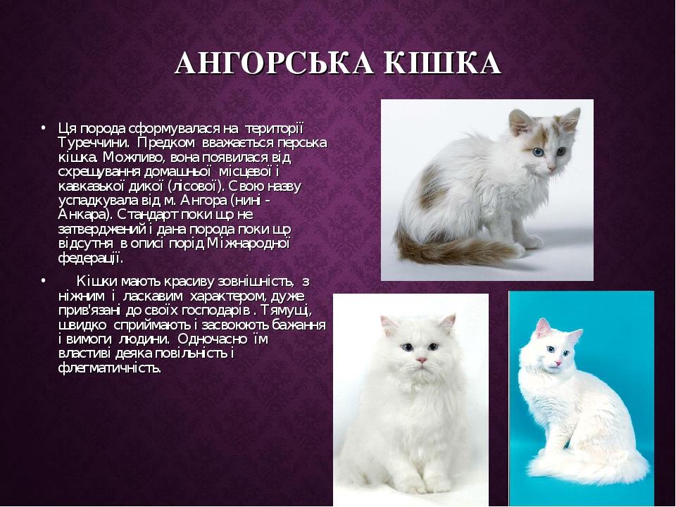 АНГОРСЬКА КІШКА Ця порода сформувалася на території Туреччини. Предком вважається перська кішка. Можливо, вона появилася від схрещування домашн...