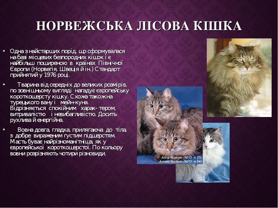 НОРВЕЖСЬКА ЛІСОВА КІШКА Одна з найстарших порід, що сформувалася на базі місцевих безпородних кішок і є найбільш поширеною в країнах Північної...