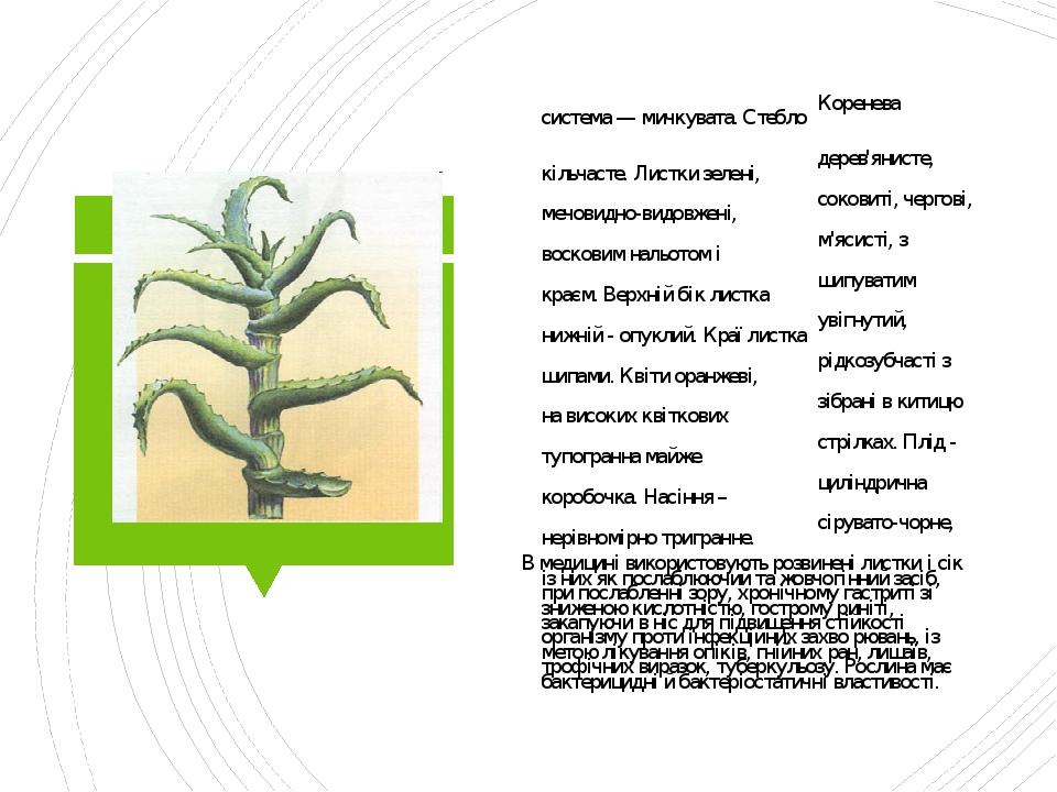 Алое деревовидне Коренева система — мичкувата. Стебло дерев'янисте, кільчасте. Листки зелені, соковиті, чергові, мечовидно-видовжені, м'ясисті, з в...