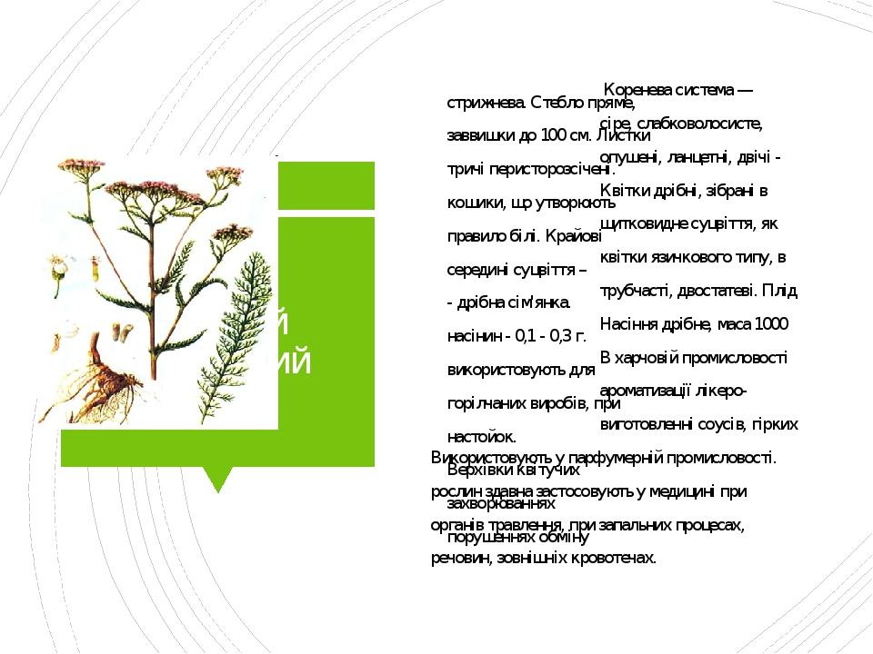 Деревій звичайний Коренева система — стрижнева. Стебло пряме, сіре, слабковолосисте, заввишки до 100 см. Листки опушені, ланцетні, двічі - тричі пе...