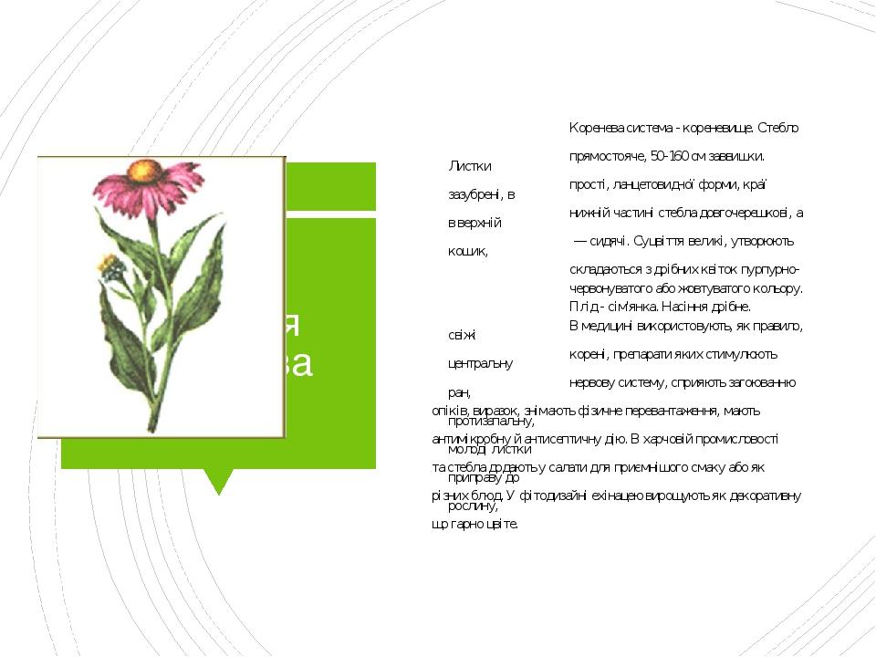 Ехінацея пурпурова Коренева система - кореневище. Стебло прямостояче, 50-160 см заввишки. Листки прості, ланцетовидної форми, краї зазубрені, в ниж...