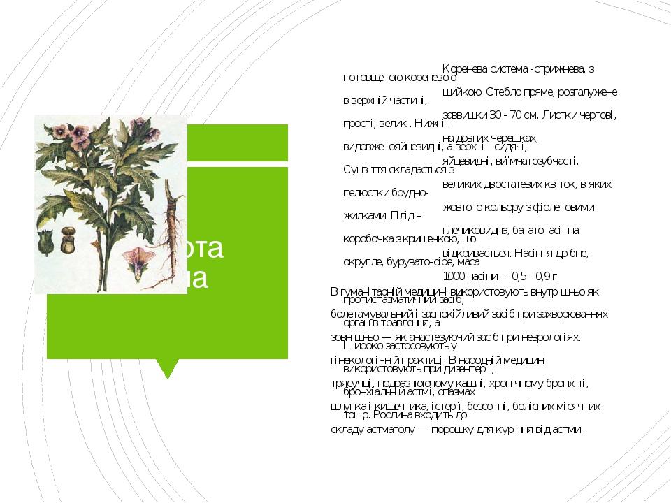 Блекота чорна Коренева система -стрижнева, з потовщеною кореневою шийкою. Стебло пряме, розгалужене в верхній частині, заввишки 30 - 70 см. Листки ...