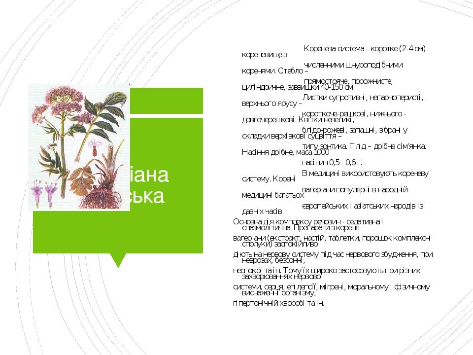 Валеріана лікарська Коренева система - коротке (2-4 см) кореневище з численними шнуроподібними коренями. Стебло – прямостояче, порожнисте, циліндри...