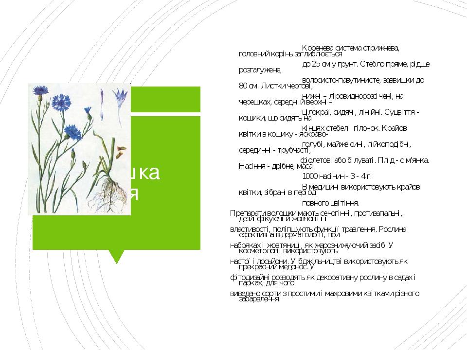Волошка синя Коренева система стрижнева, головний корінь заглиблюється до 25 см у грунт. Стебло пряме, рідше розгалужене, волосисто-павутинисте, за...