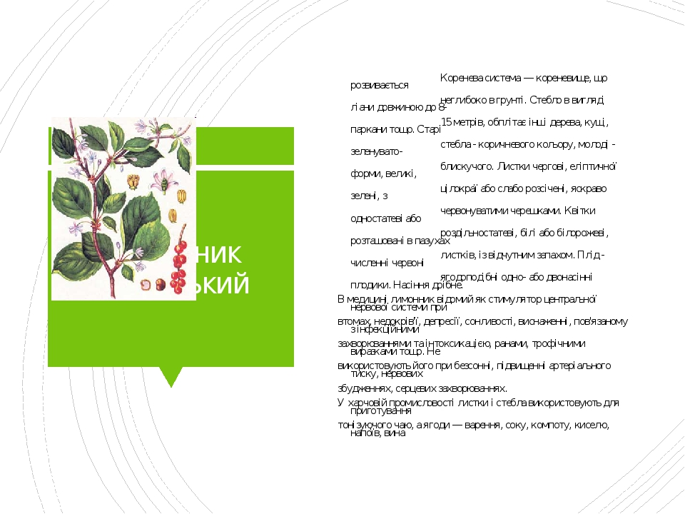 Лимонник китайський Коренева система — кореневище, що розвивається неглибоко в грунті. Стебло в вигляді ліани довжиною до 8- 15 метрів, обплітає ін...