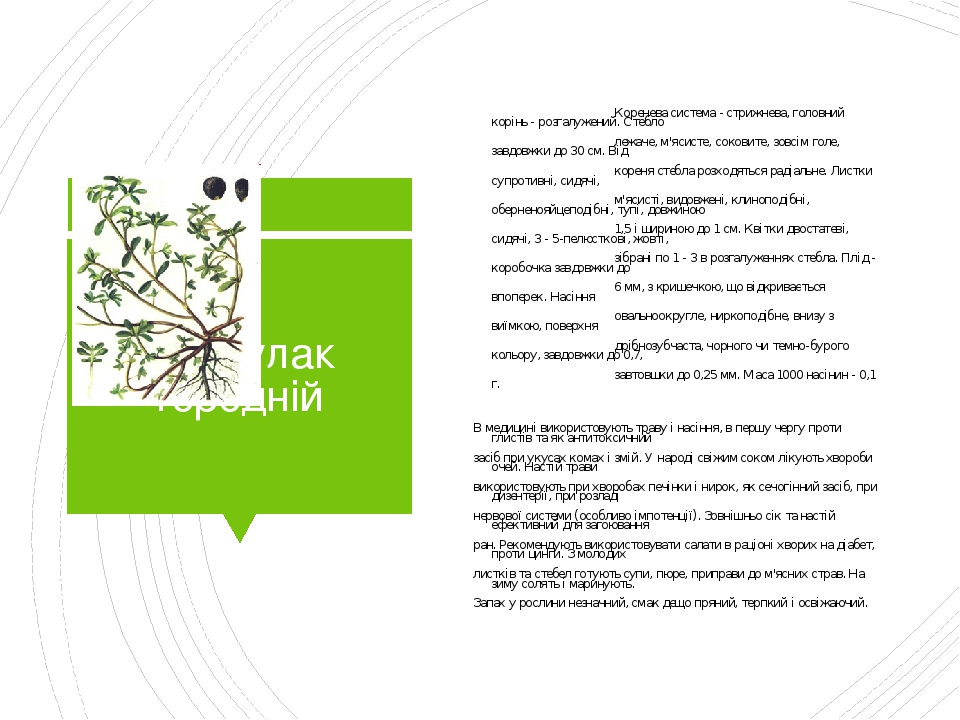 Портулак городній Коренева система - стрижнева, головний корінь - розгалужений. Стебло лежаче, м'ясисте, соковите, зовсім голе, завдовжки до 30 см....
