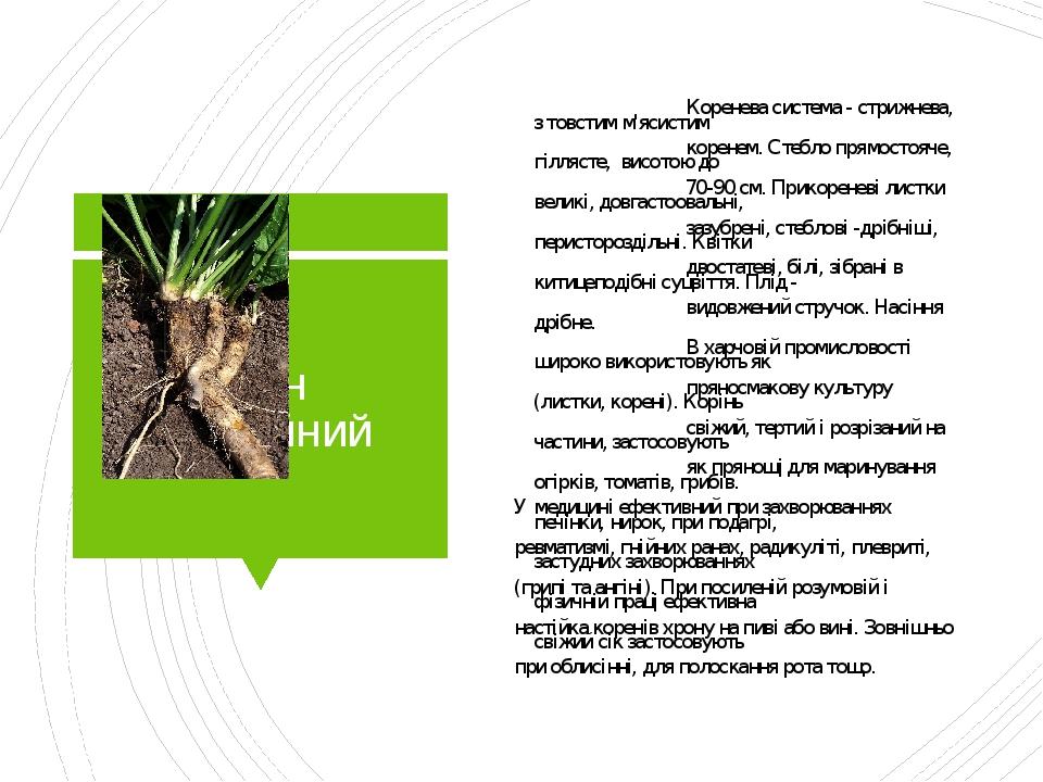 Хрін звичайний Коренева система - стрижнева, з товстим м'ясистим коренем. Стебло прямостояче, гіллясте, висотою до 70-90 см. Прикореневі листки вел...