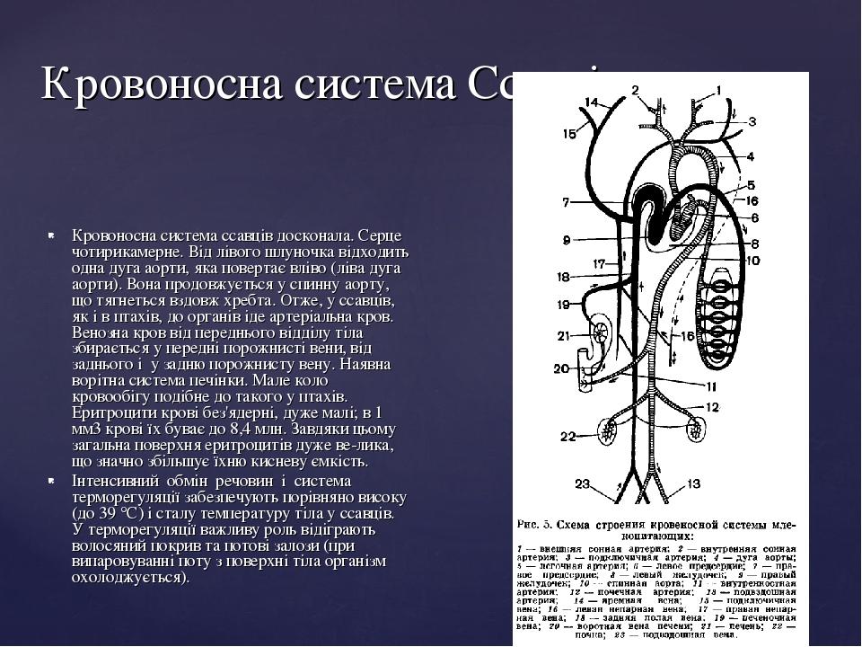Кровоносна система Ссавців Кровоносна система ссавців досконала. Серце чотирикамерне. Від лівого шлуночка відходить одна дуга аорти, яка повертає в...