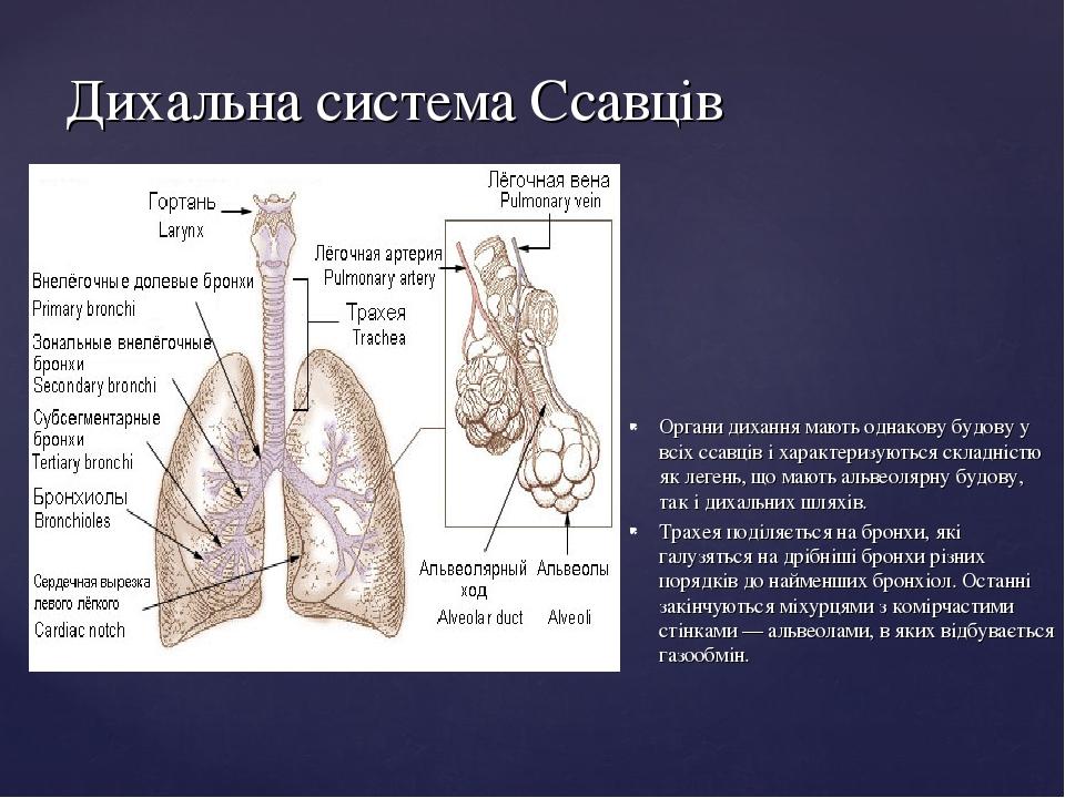 Дихальна система Ссавців Органи дихання мають однакову будову у всіх ссавців і характеризуються складністю як легень, що мають альвеолярну будову, ...