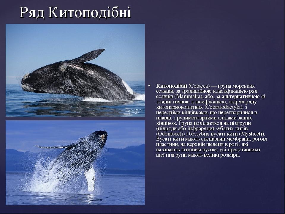 Ряд Китоподібні Китоподібні (Cetacea)— група морських ссавців, за традиційною класифікацією ряд ссавців (Mammalia), або, за альтернативною їй клад...