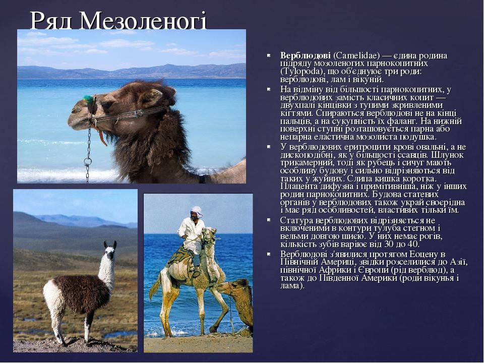 Ряд Мезоленогі Верблюдові (Camelidae)— єдина родина підряду мозоленогих парнокопитних (Tylopoda), що об'єднуює три роди: верблюдові, лам і вікуній...