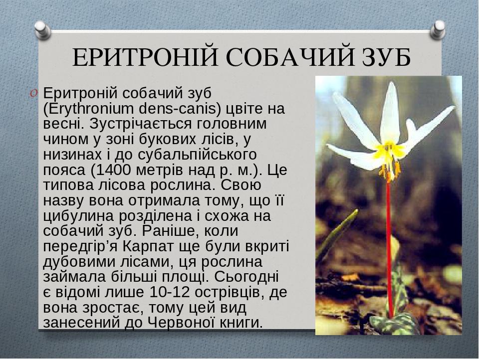 ЕРИТРОНІЙ СОБАЧИЙ ЗУБ Еритроній собачий зуб (Erythronium dens-canis) цвіте на весні. Зустрічається головним чином у зоні букових лісів, у низинах і...
