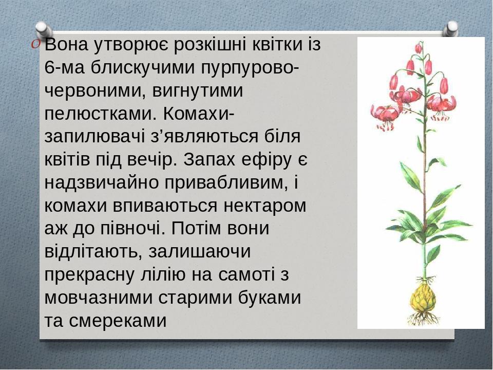 Вона утворює розкішні квітки із 6-ма блискучими пурпурово-червоними, вигнутими пелюстками. Комахи-запилювачі з'являються біля квітів під вечір. Зап...
