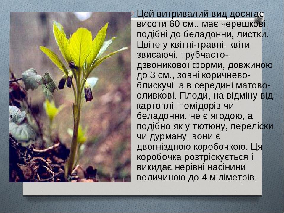Цей витривалий вид досягає висоти 60 см., має черешкові, подібні до беладонни, листки. Цвіте у квітні-травні, квіти звисаючі, трубчасто-дзвоникової...