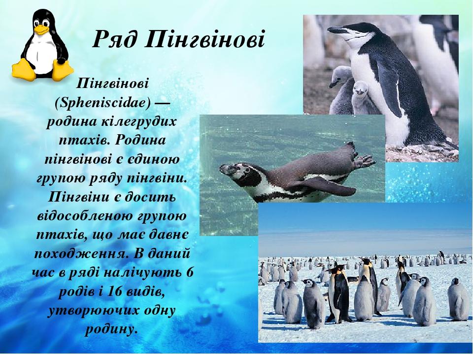 Ряд Пінгвінові Пінгвінові (Spheniscidae) — родина кілегрудих птахів. Родина пінгвінові є єдиною групою ряду пінгвіни. Пінгвіни є досить відособлено...