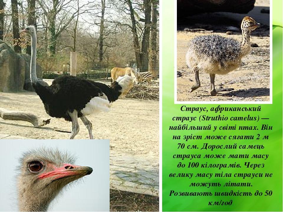 Страус, африканський страус (Struthio camelus) — найбільший у світі птах. Він на зріст може сягати 2 м 70 см. Дорослий самець страуса може мати мас...
