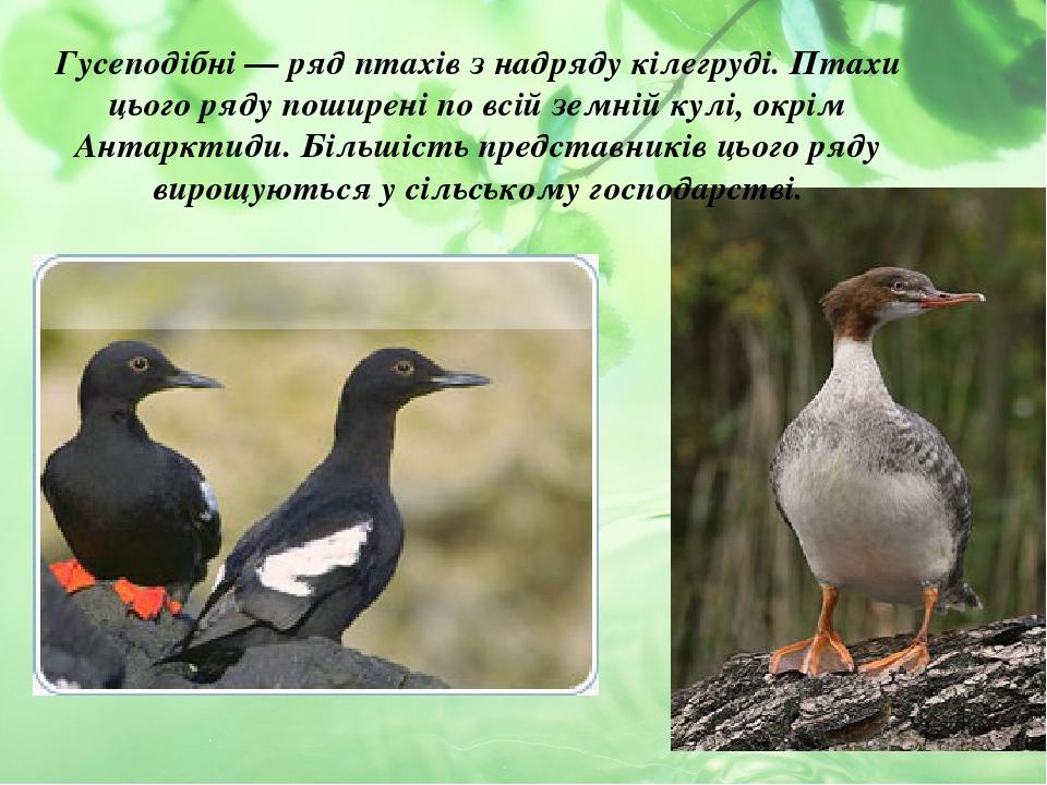 Гусеподібні — ряд птахів з надряду кілегруді. Птахи цього ряду поширені по всій земній кулі, окрім Антарктиди. Більшість представників цього ряду в...
