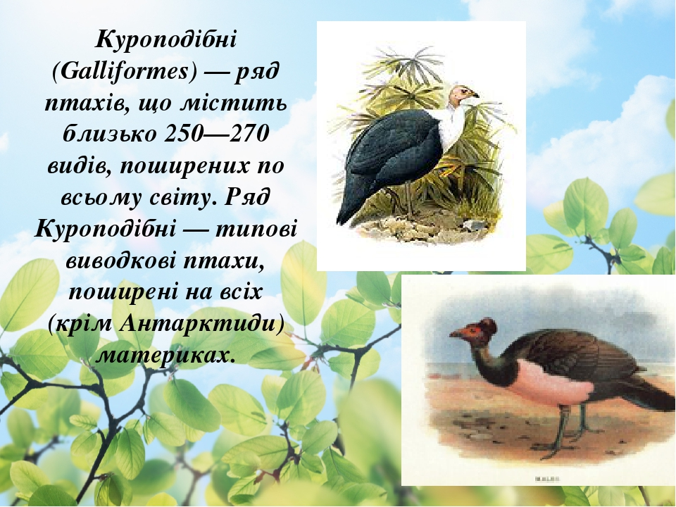Куроподібні (Galliformes) — ряд птахів, що містить близько 250—270 видів, поширених по всьому світу. Ряд Куроподібні — типові виводкові птахи, поши...