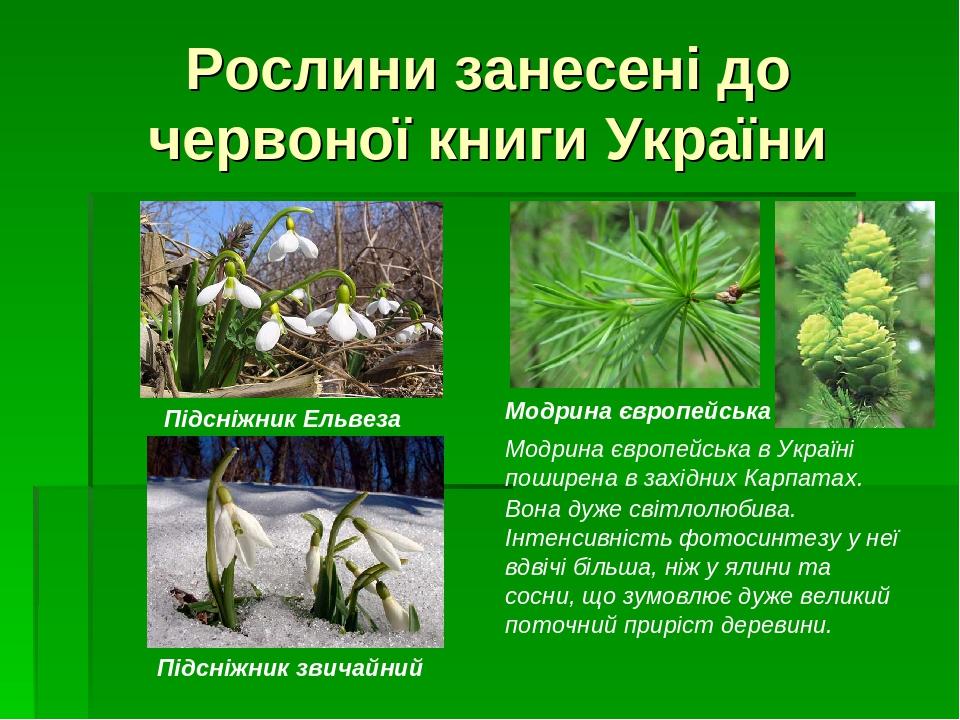 Рослини занесені до червоної книги України Модрина європейська Модрина європейська в Україні поширена в західних Карпатах. Вона дуже світлолюбива. ...