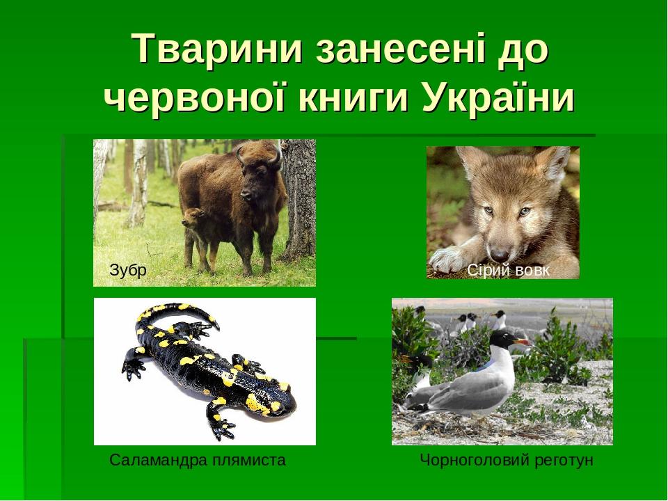 Тварини занесені до червоної книги України Чорноголовий реготун Зубр Сірий вовк Саламандра плямиста
