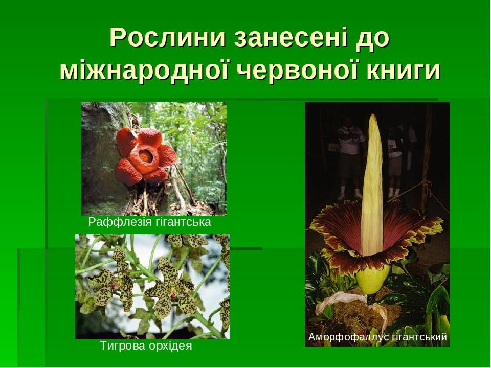 Рослини занесені до міжнародної червоної книги Аморфофаллус гігантський Раффлезія гігантська Тигрова орхідея