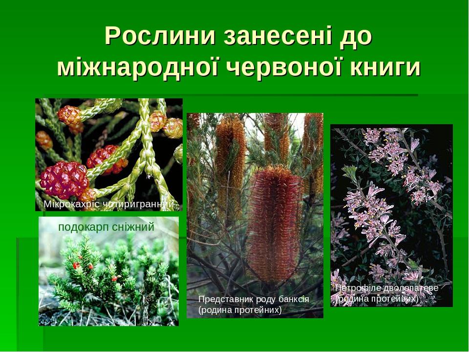 Рослини занесені до міжнародної червоної книги Представник роду банксія (родина протейних) Мікрокахріс чотиригранний подокарп сніжний Петрофіле дво...