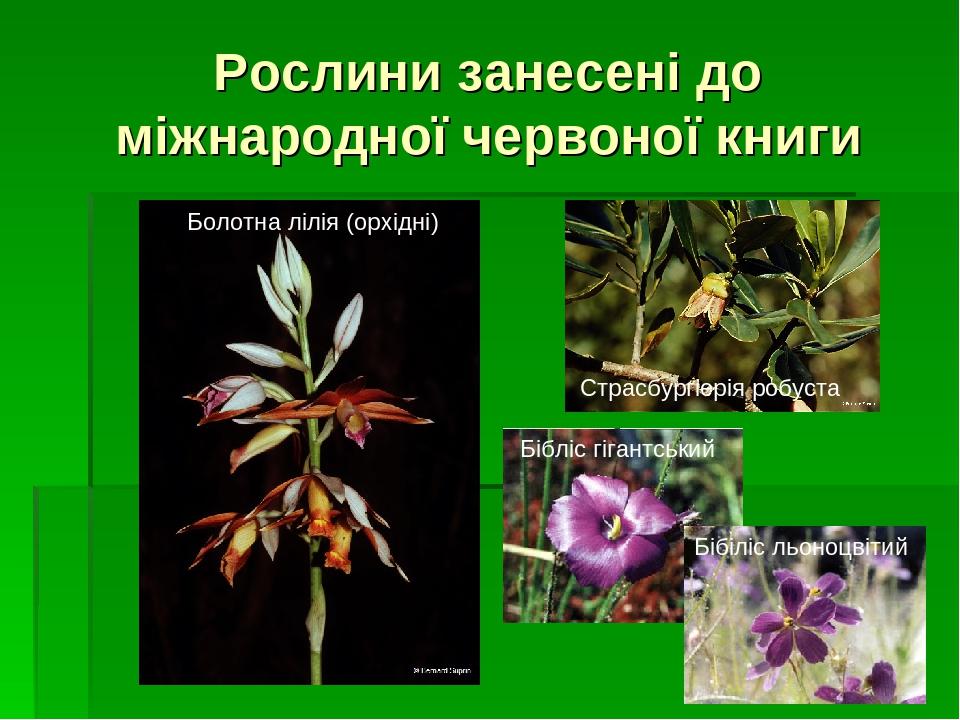 Рослини занесені до міжнародної червоної книги Бібліс гігантський Бібіліс льоноцвітий Страсбургіерія робуста Болотна лілія (орхідні)