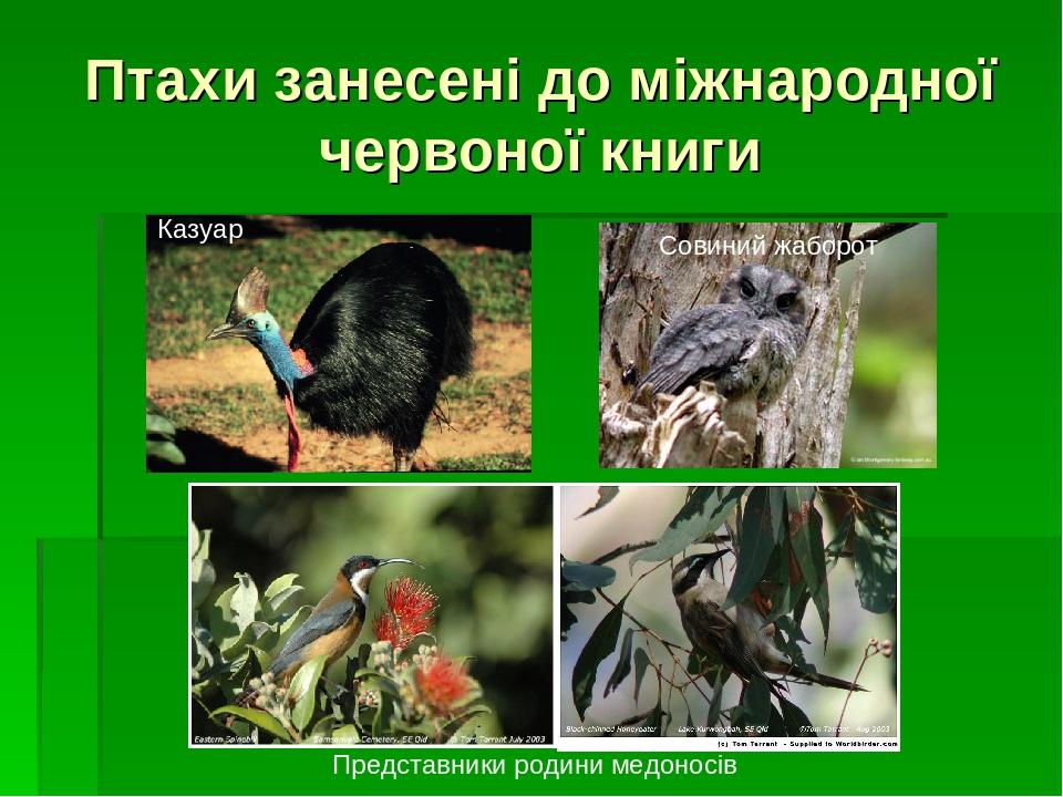 Птахи занесені до міжнародної червоної книги Казуар Совиний жаборот Представники родини медоносів
