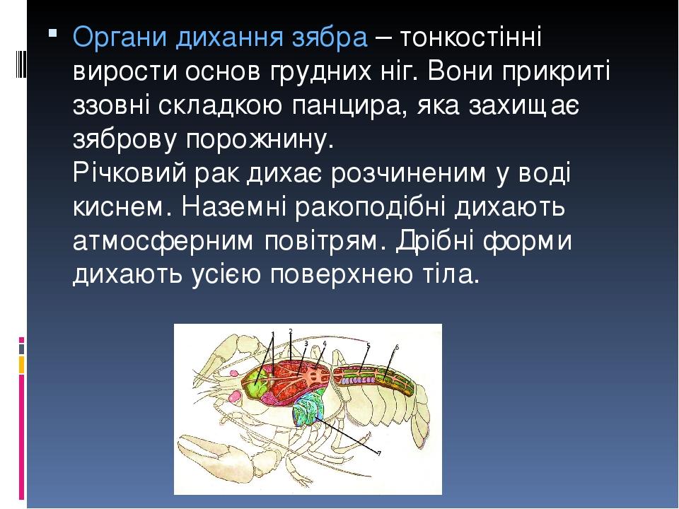 Органи дихання зябра – тонкостінні вирости основ грудних ніг. Вони прикриті ззовні складкою панцира, яка захищає зяброву порожнину. Річковий рак ди...
