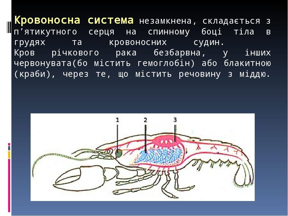 Кровоносна система незамкнена, складається з п'ятикутного серця на спинному боці тіла в грудях та кровоносних судин. Кров річкового рака безбарвна,...