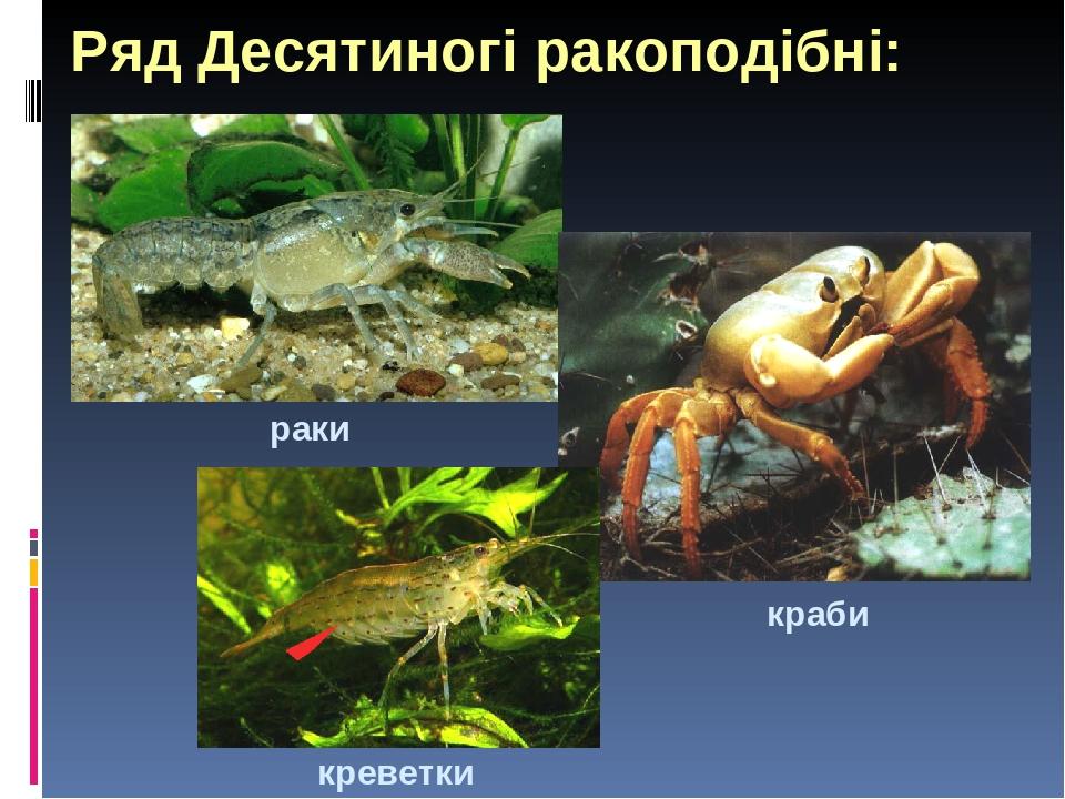 Ряд Десятиногі ракоподібні: раки краби креветки