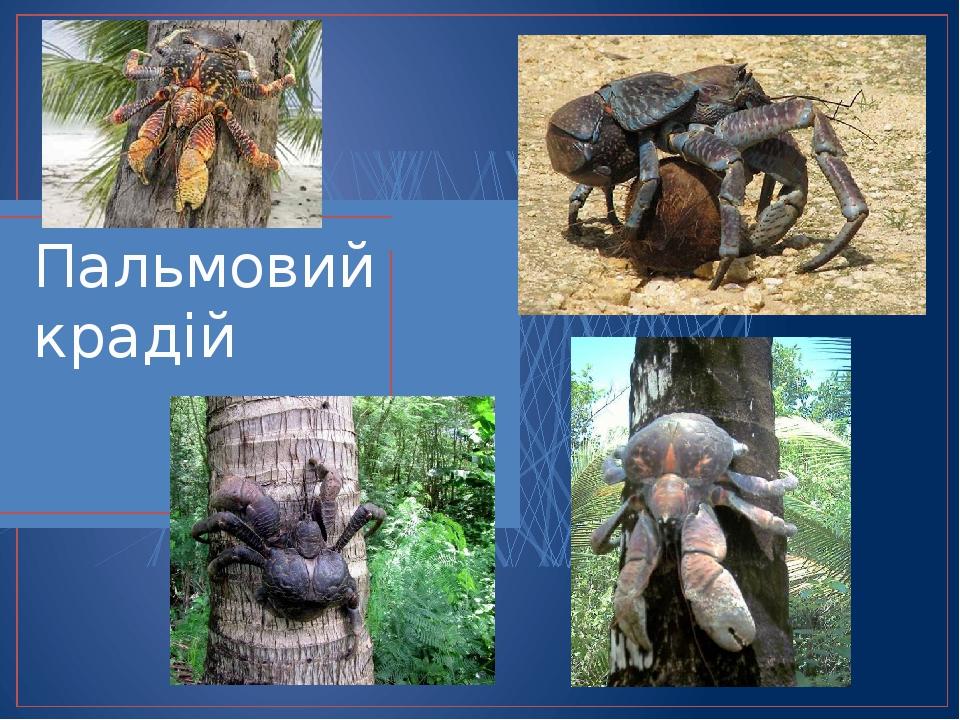 Пальмовий крадій