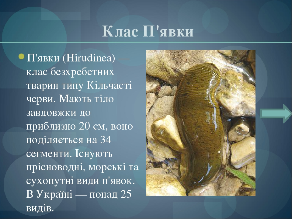 Клас П'явки П'явки (Hirudinea) — клас безхребетних тварин типу Кільчасті черви. Мають тіло завдовжки до приблизно 20 см, воно поділяється на 34 сег...