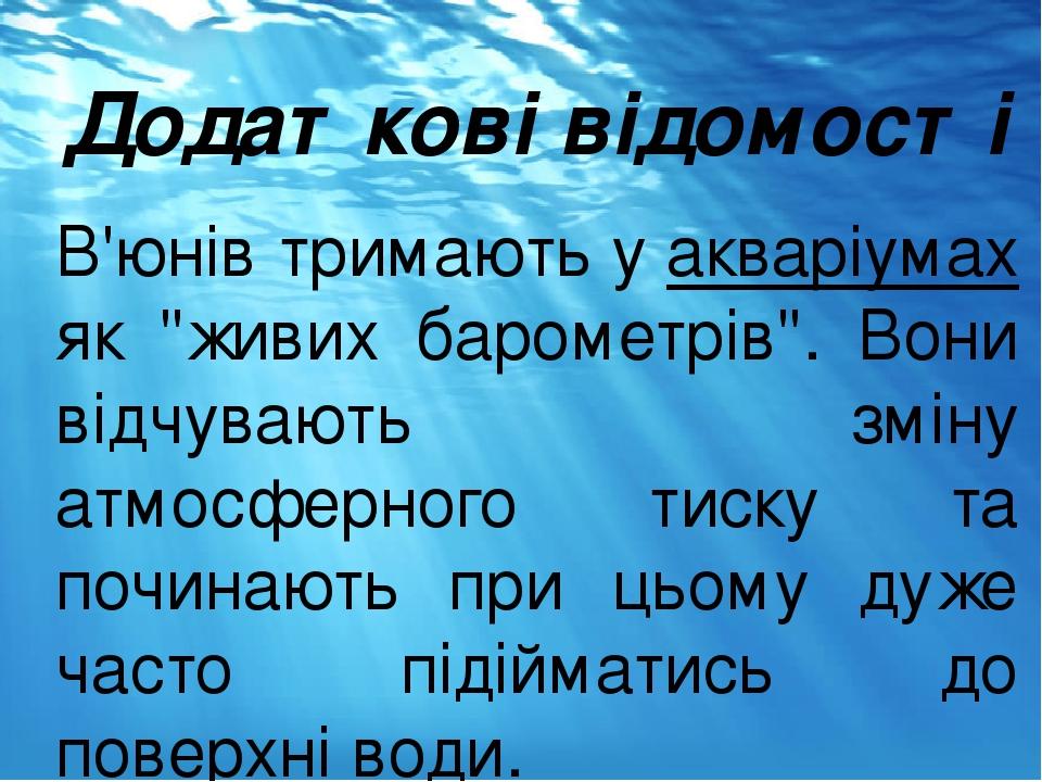 """Додаткові відомості В'юнів тримають у акваріумах як """"живих барометрів"""". Вони відчувають зміну атмосферного тиску та починають при цьому дуже часто ..."""