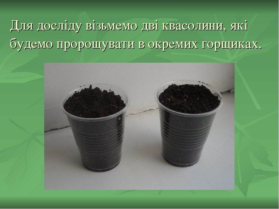 Для досліду візьмемо дві квасолини, які будемо пророщувати в окремих горщиках.