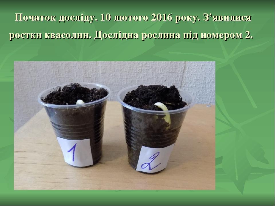 Початок досліду. 10 лютого 2016 року. З'явилися ростки квасолин. Дослідна рослина під номером 2.