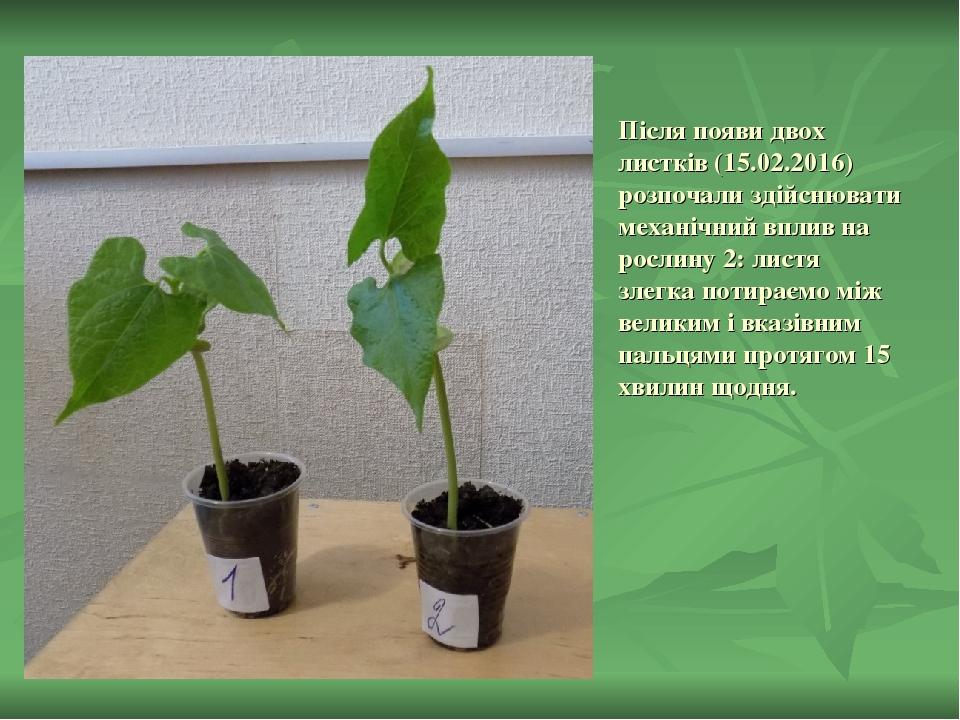 Після появи двох листків (15.02.2016) розпочали здійснювати механічний вплив на рослину 2: листя злегка потираємо між великим і вказівним пальцями ...