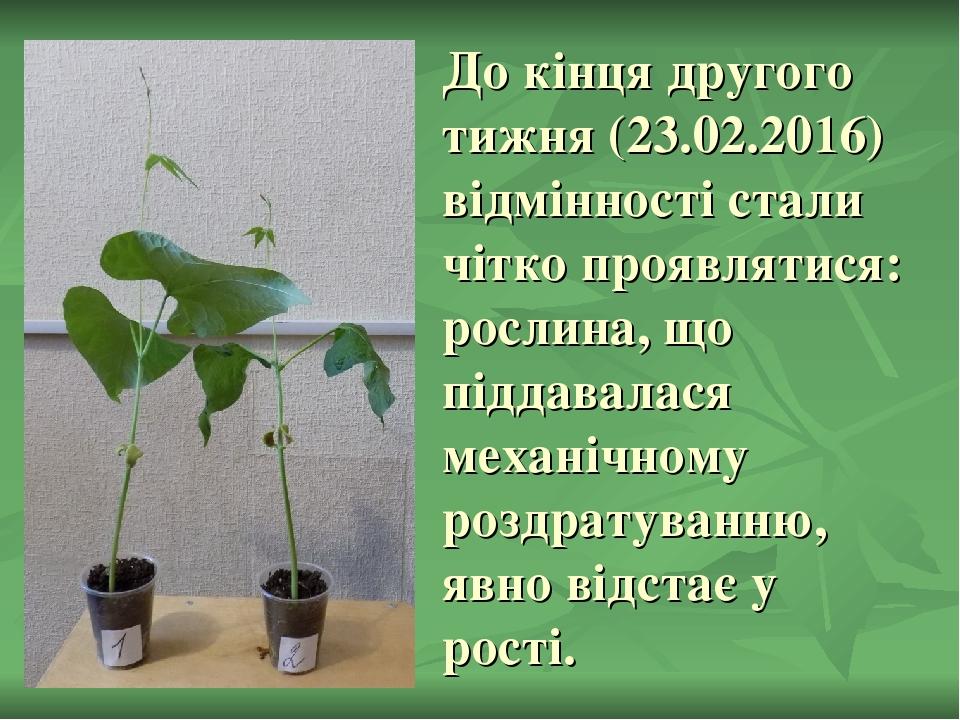 До кінця другого тижня (23.02.2016) відмінності стали чітко проявлятися: рослина, що піддавалася механічному роздратуванню, явно відстає у рості.