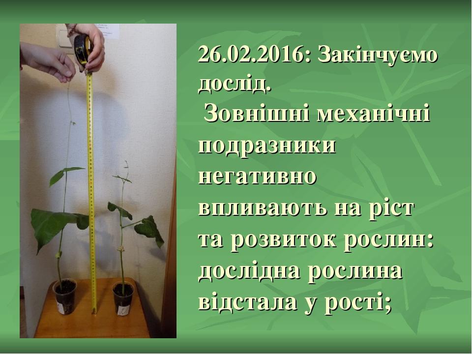 26.02.2016: Закінчуємо дослід. Зовнішні механічні подразники негативно впливають на ріст та розвиток рослин: дослідна рослина відстала у рості;