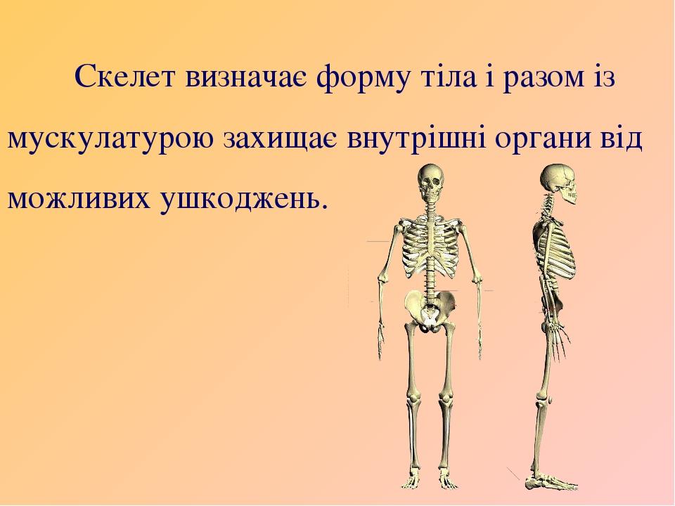 Скелет визначає форму тіла і разом із мускулатурою захищає внутрішні органи від можливих ушкоджень.