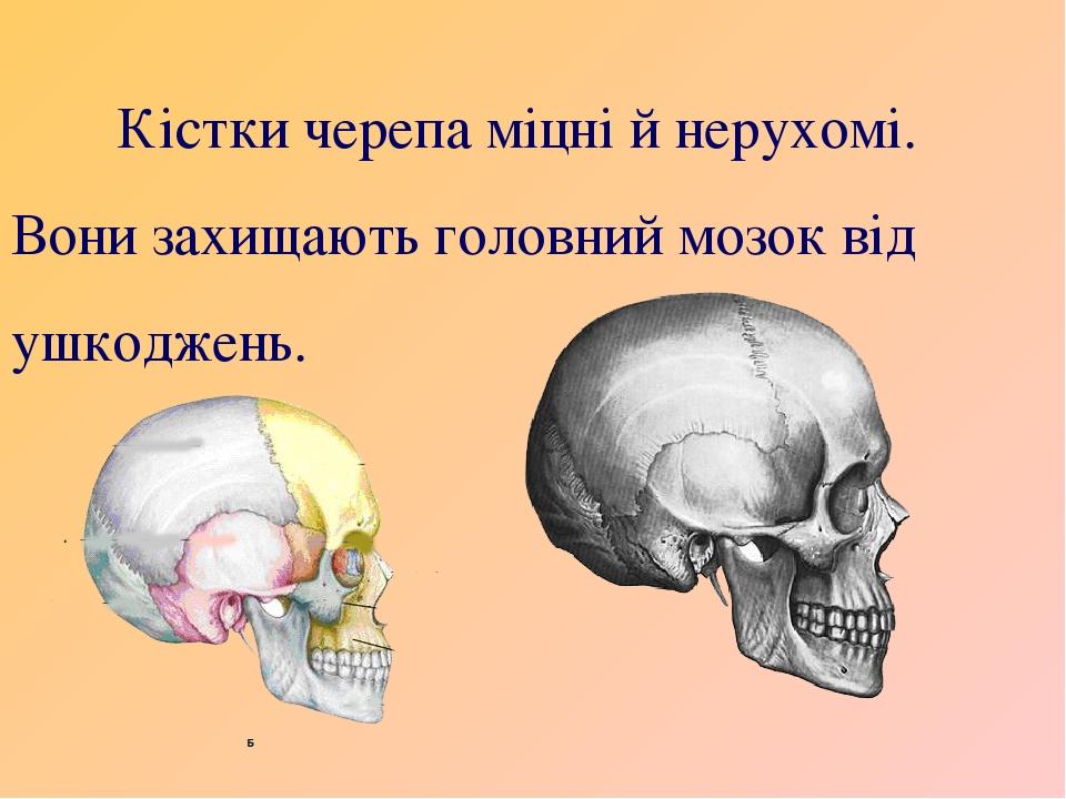 Кістки черепа міцні й нерухомі. Вони захищають головний мозок від ушкоджень.