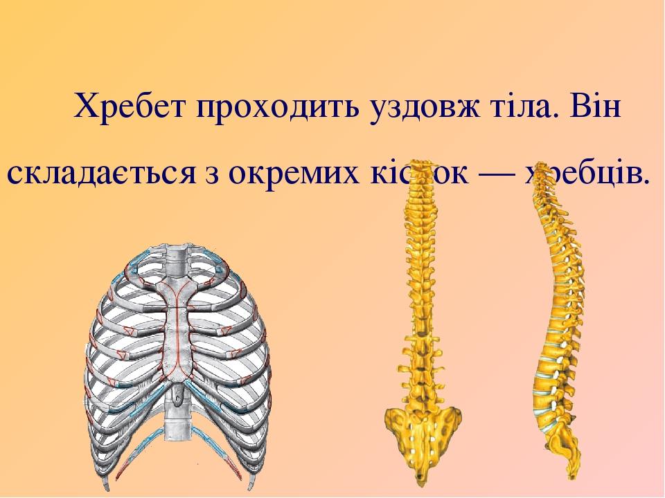 Хребет проходить уздовж тіла. Він складається з окремих кісток — хребців.