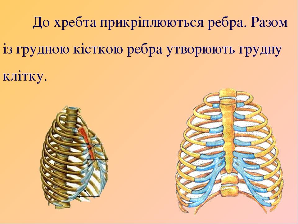 До хребта прикріплюються ребра. Разом із грудною кісткою ребра утворюють грудну клітку.
