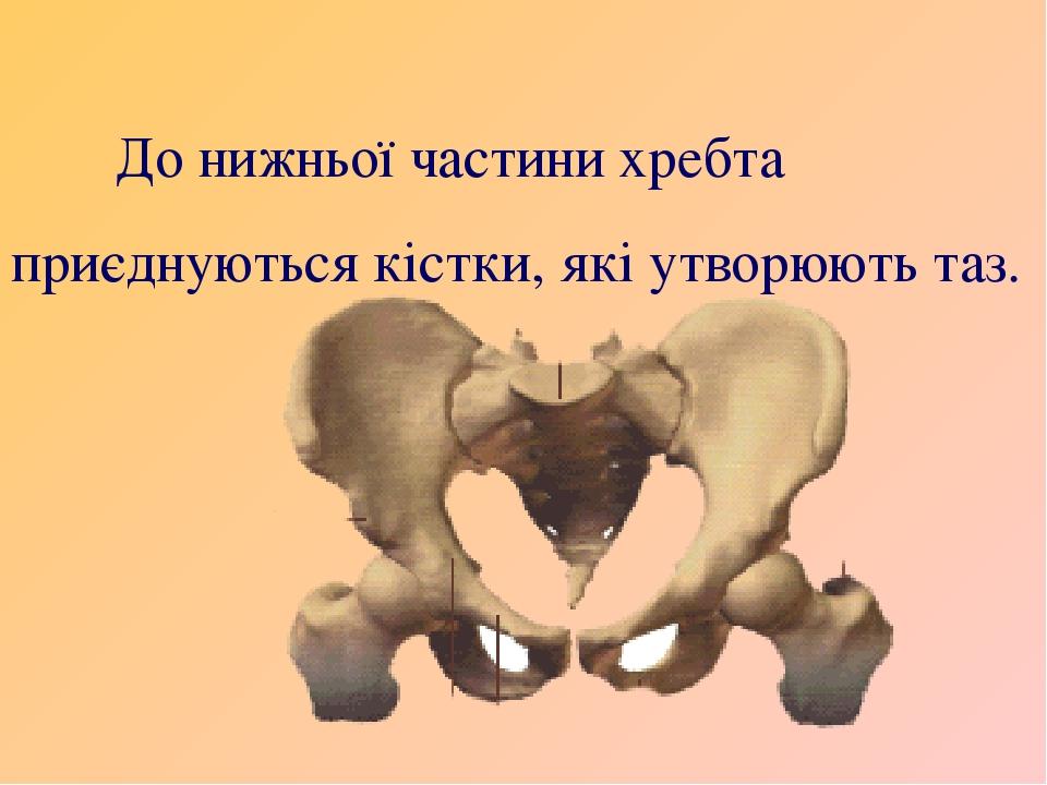 До нижньої частини хребта приєднуються кістки, які утворюють таз.