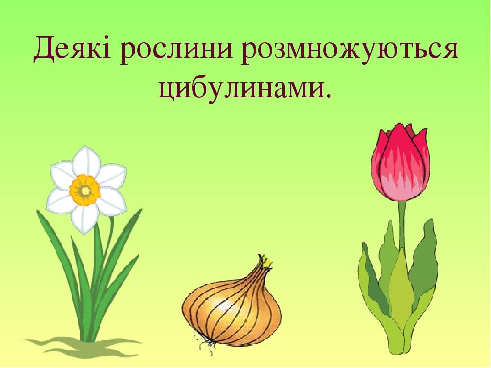 Деякі рослини розмножуються цибулинами.
