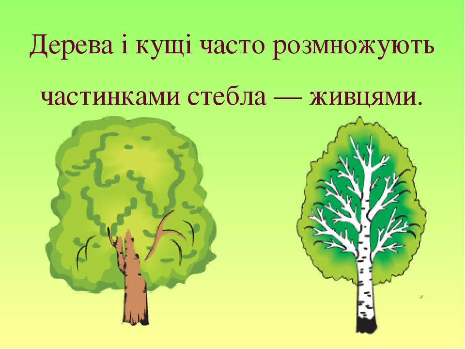 Дерева і кущі часто розмножують частинками стебла — живцями.