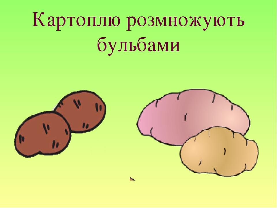 Картоплю розмножують бульбами