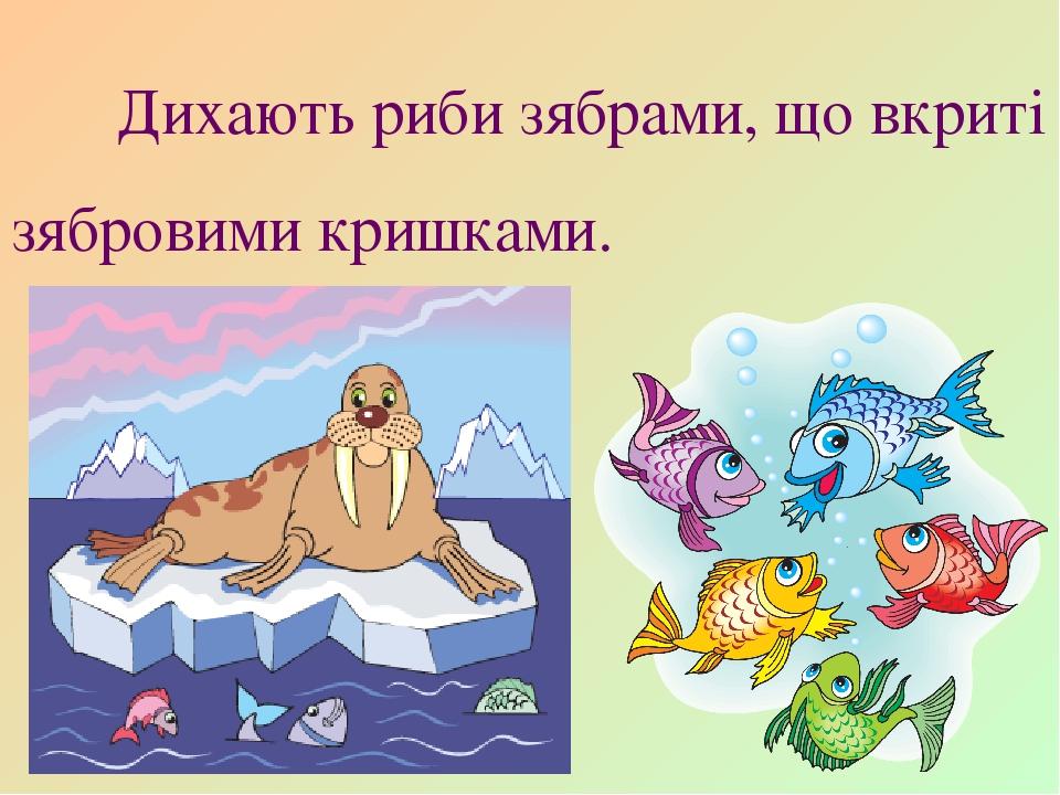 Дихають риби зябрами, що вкриті зябровими кришками.